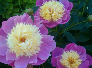 Peonies - My favourite June flower